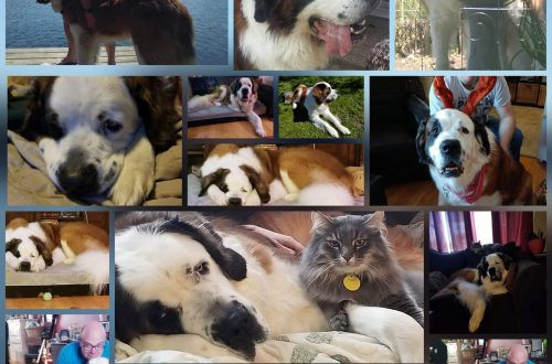 Multiple pictures of my 10-year-old Saint Bernard.